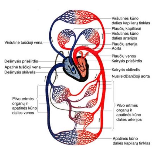 mažo kraujo apytakos rato hipertenzija.)